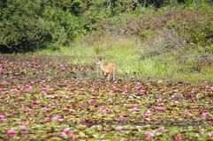 Deer in Lily Pads. Deer wading into a bog full of lily pads on a summer day Stock Photo