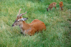 Deer with little ones royalty free stock photo
