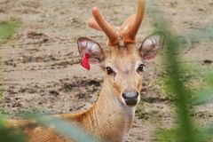 Deer. Little deer in the small zoo Royalty Free Stock Photos