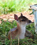Deer little Stock Images