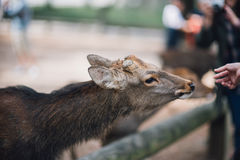 Deer live freely in Nara Stock Photo