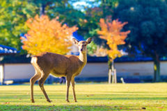 Deer live freely in Nara, Japan. Stock Photos