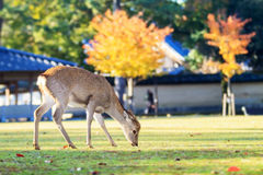 Deer live freely in Nara, Japan. Royalty Free Stock Photo