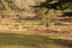 Deer in a local park in winter. 2017 Stock Photography