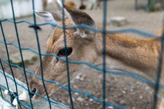 Deer locked in a fence. Young deer locked in a fence, on zoo royalty free stock photos