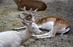 Deer. Lone albino deer in the herd of spotted deer Stock Image