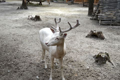 Deer. Lone albino deer walking in the zoo Stock Image