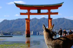Deer look at Torii gate. Royalty Free Stock Photo