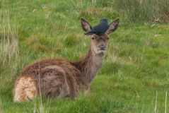 The deer looked at the camera. While having birds on the head in Richmond Park stock photos