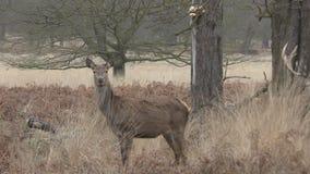 Deer looking around. stock video