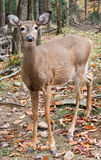 Deer Looking at the Camera Stock Photography