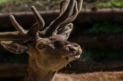 Deer looking Royalty Free Stock Photos