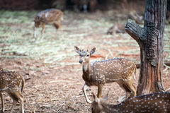 Deer. / Looking  / Curios  / Zoo royalty free stock photo