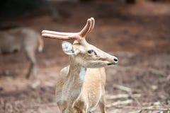 Deer. / Looking  / Curios  / Zoo stock photos