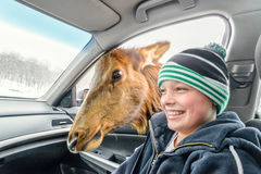 Deer looking for food in a car (Omega Park of Quebec) Stock Images