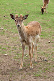 Deer looking Royalty Free Stock Images