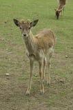 Deer looking Royalty Free Stock Images