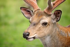 Deer looking on the meadow. Royalty Free Stock Photos
