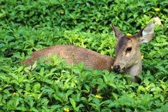 Deer looking something Royalty Free Stock Image