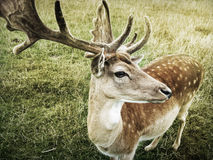 Deer Looking to the Right in a Green Grassy Field on a Sunny Day Royalty Free Stock Photo