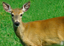Deer Looking at Us Royalty Free Stock Images