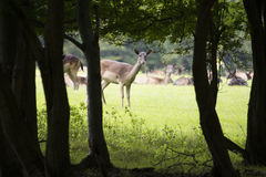Deer looking into wood for danger Royalty Free Stock Photos