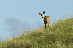 Deer looks back. Royalty Free Stock Photography