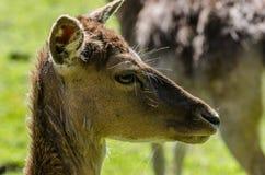 deer looks Stock Images