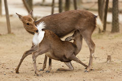 Deer love Stock Photography