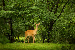 Deer on a lush green background. A image of a female deer on a lush green background Stock Photos