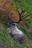 Deer lying Royalty Free Stock Photos