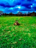 Deer lying on the grass in the Wollaton Hall Park in Nottingham, United Kingdom. royalty free stock photography