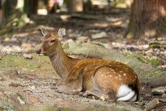 Deer lying down Stock Images