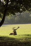 Deer lying in a forest clearing Royalty Free Stock Image