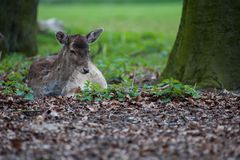 Deer lying on forest ground. On dead leaves beweet trees with blurred foreground royalty free stock images