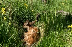 Deer lying on the green grass Royalty Free Stock Image