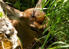 Deer lying on the green grass Stock Image