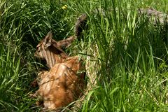 Deer lying on the green grass Royalty Free Stock Images