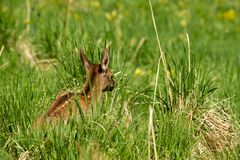 Deer lying on the green grass Royalty Free Stock Photography