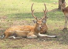 Deer. Male sika wildlife animal mammal zoo Royalty Free Stock Photography