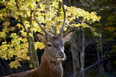 Deer. Male deer standing proud in the middle of the forest Stock Image