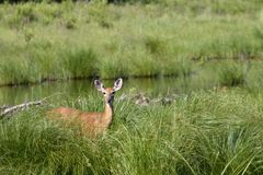 Deer in a Marsh Environment. American White tailed deer (Odocoileus virginianus)standing in tall green grass near a stream in a marsh Stock Images