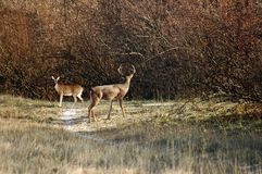 Deer mating. A picture of a buck nd doe during mating season Stock Image