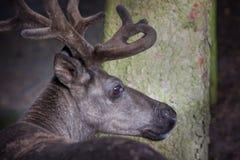 Deer mature bucks Royalty Free Stock Images