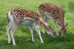 Deer May Safely Graze. Rescued Fallow Deer, grazing in safety in the grounds of Mountfitchet Castle, Essex Stock Photography