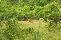 Deer in a Meadow Stock Images