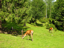 Deer on the meadow Stock Photo
