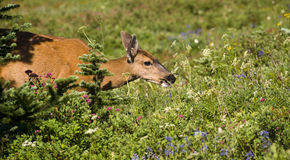 Deer in Meadow Grazing Eating Wildflower Blooms Royalty Free Stock Photo