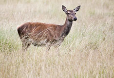 The deer in the meadow. A beautiful deer in the meadow is feeling for dangers Royalty Free Stock Photos
