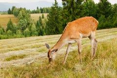 Deer in the meadow Royalty Free Stock Image